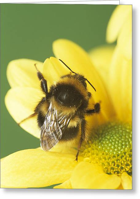 Bumble Bee Pollinating A Flower Greeting Card by David Aubrey