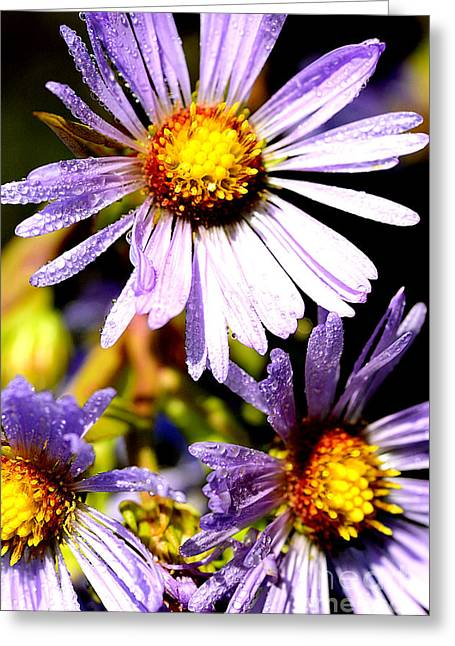 Aster Greeting Cards - Bushy Aster with Dew Greeting Card by Thomas R Fletcher