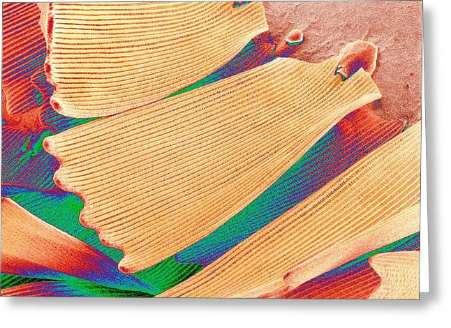 Coloured Greeting Cards - Butterfly Wing Scales, Sem Greeting Card by Susumu Nishinaga