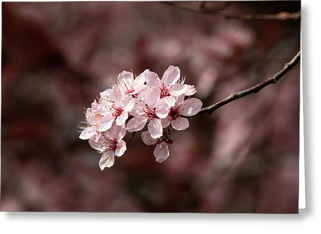 Cherry Blossom Tree Greeting Card by Pierre Leclerc Photography