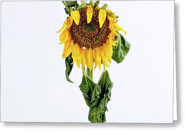 Sun Studio Greeting Cards - Close up of sunflower. Greeting Card by Bernard Jaubert