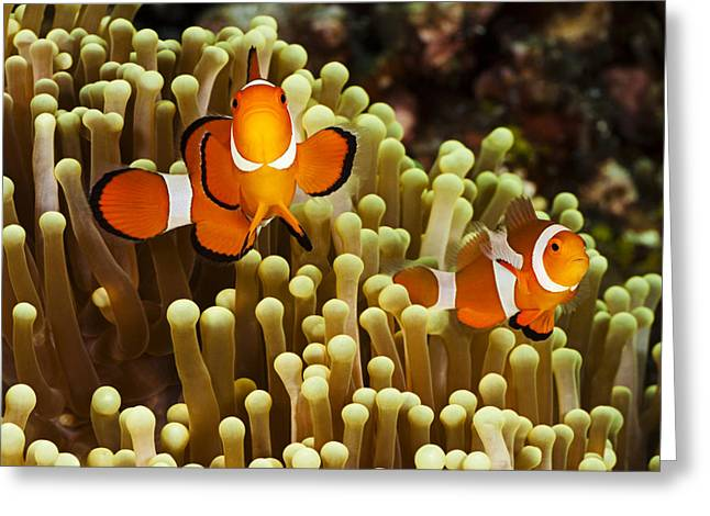 Tendrils Greeting Cards - Clown Anemonefish Greeting Card by Dave Fleetham - Printscapes