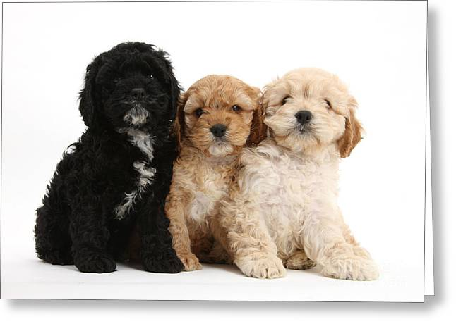 Tuxedo Greeting Cards - Cockerpoo Puppies Greeting Card by Mark Taylor