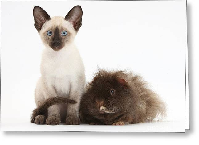 Colorpoint Greeting Cards - Colorpoint Rabbit And Siamese Kitten Greeting Card by Mark Taylor