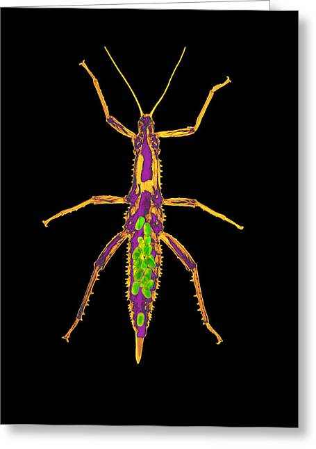 Invertebrates Greeting Cards - Coloured X-ray Of A Stick Insect With Eggs Greeting Card by D. Roberts