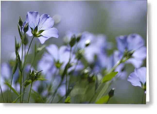 Common Flax (linum Usitatissimum) Greeting Card by Adrian Bicker