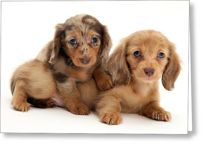 Dachshund Pups Greeting Card by Jane Burton