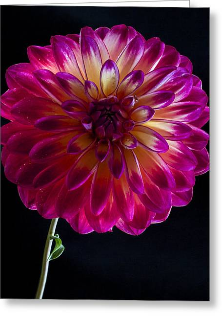 Jean Noren Greeting Cards - Dahlia Greeting Card by Jean Noren