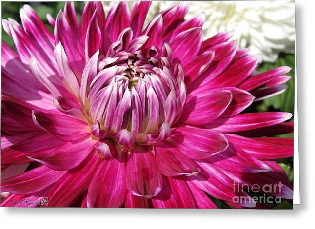 Red Wine Prints Greeting Cards - Dahlia named Vancouver Greeting Card by J McCombie