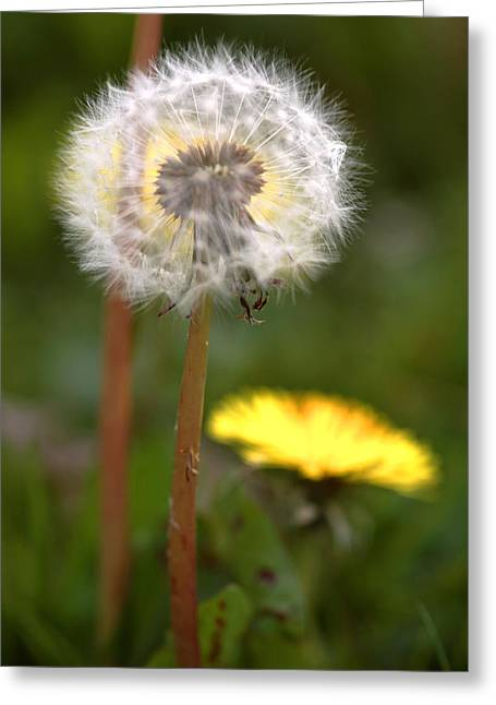 Soft Clocks Greeting Cards - Dandelions (taraxacum Officinale) Greeting Card by Dr Keith Wheeler