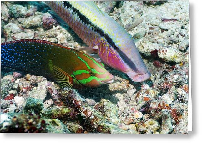 Biology Greeting Cards - Dash-and-dot Goatfish Greeting Card by Georgette Douwma