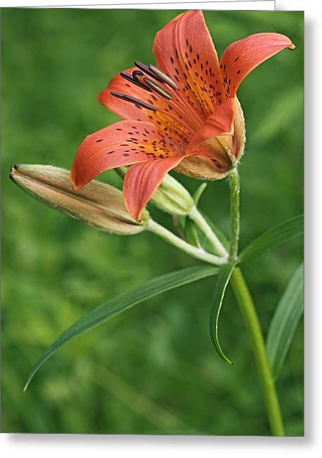 Lilium Greeting Cards - Daurian Lily (lilium Dauricum) Greeting Card by Dr. Nick Kurzenko