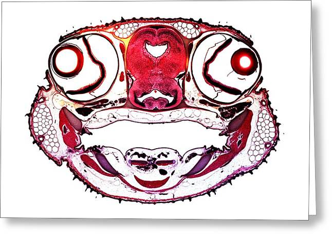Dogfish Greeting Cards - Dogfish Head, Transverse Section Greeting Card by Dr Keith Wheeler