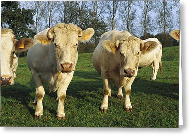 Bos Bos Greeting Cards - Domestic Cattle Bos Taurus Charolais Greeting Card by Cyril Ruoso