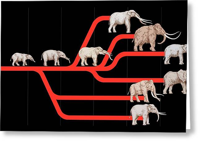 Lineage Greeting Cards - Elephant Evolution, Diagram Greeting Card by Gary Hincks