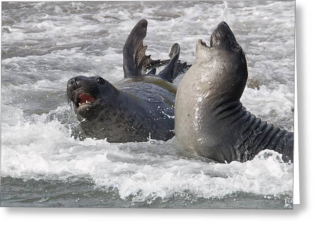 Elephant Seals Greeting Cards - Elephant Seal Mirounga Angustirostris Greeting Card by Rich Reid