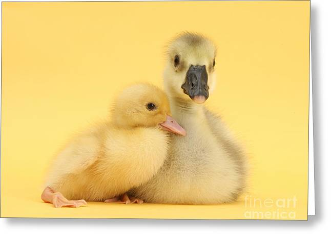 Ducklings Greeting Cards - Embden X Greylag Gosling And Call Greeting Card by Mark Taylor