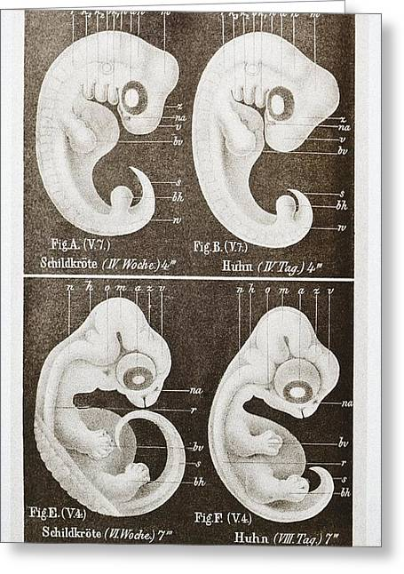 Embryology Greeting Cards - Embryonic Development, Historical Artwork Greeting Card by Mehau Kulyk