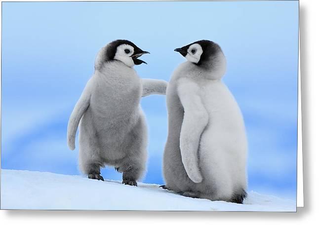 Spheniscidae Greeting Cards - Emperor Penguin Aptenodytes Forsteri Greeting Card by Jan Vermeer