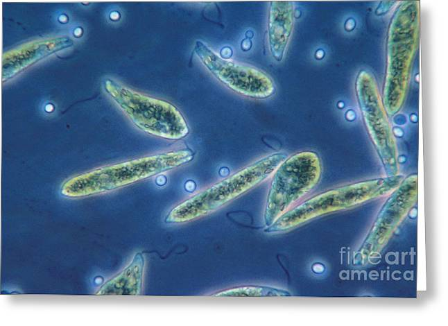Euglena Gracilis, Lm Greeting Card by Eric V. Grave