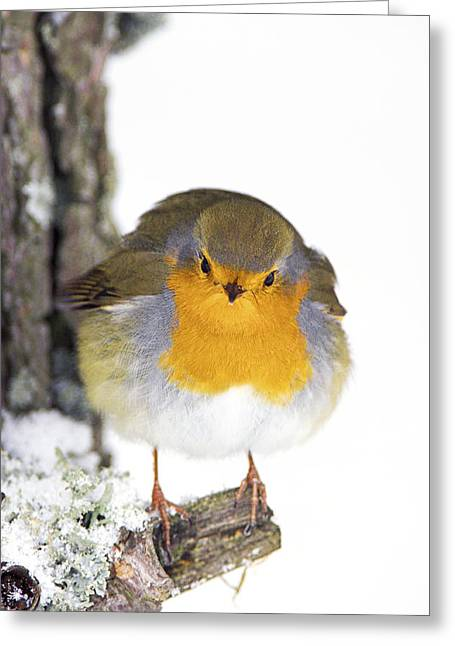 Forest Floor Greeting Cards - European Robin Greeting Card by Duncan Shaw