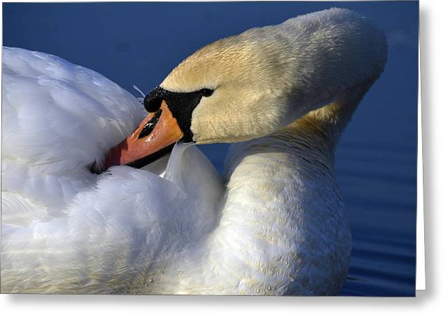 Aquatic Greeting Cards - Fancy feathers Greeting Card by Brian Stevens