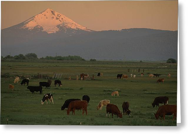 Grazing Snow Greeting Cards - Farm Scene West Of Chiloguin, Oregon Greeting Card by Phil Schermeister