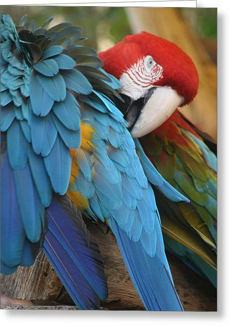 Parrot Pyrography Greeting Cards - Feather By Feather Greeting Card by Valia Bradshaw