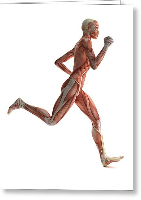 Striated Muscle Greeting Cards - Female Muscles, Artwork Greeting Card by Sciepro