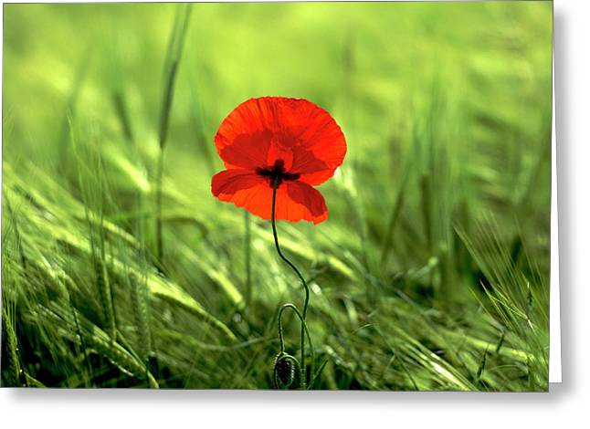 Outdoors Greeting Cards - Field of wheat with a solitary poppy. Greeting Card by Bernard Jaubert