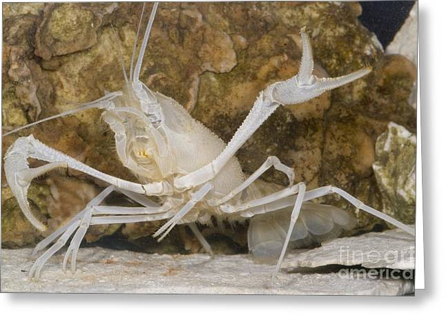 Cave Fauna Greeting Cards - Florida Cave Crayfish Greeting Card by Dante Fenolio