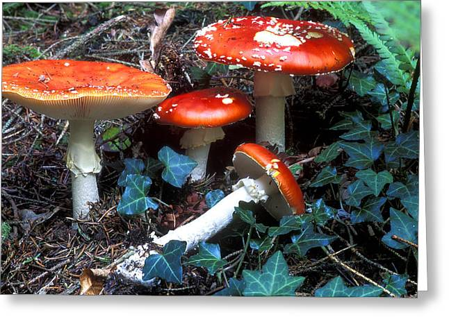 Uproot Greeting Cards - Fly Agaric Fungi Greeting Card by Dr Keith Wheeler