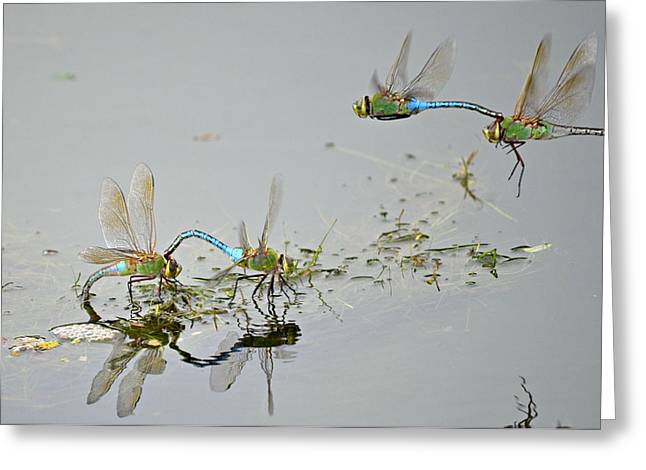 Green Darner Dragonflies Greeting Cards - Fly By Greeting Card by Fraida Gutovich