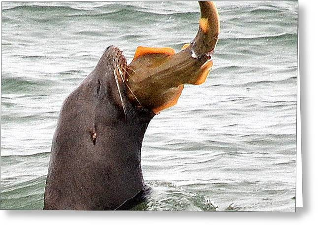 Sea Lions Greeting Cards - Fresh Catch of the Day Greeting Card by Fraida Gutovich