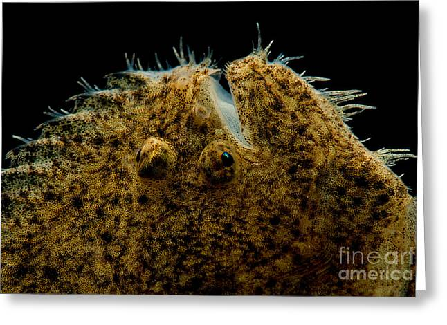 Aquarium Fish Greeting Cards - Freshwater Flounder Greeting Card by Danté Fenolio