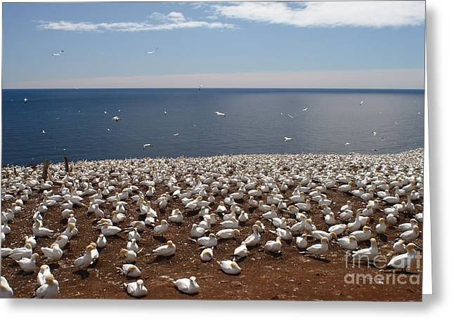 Morus Bassanus Greeting Cards - Gannet Colony Greeting Card by Ted Kinsman
