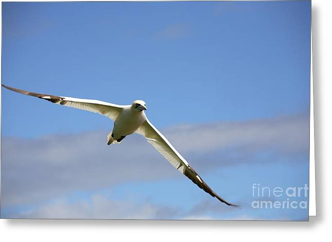 Morus Bassanus Greeting Cards - Gannet In Flight Greeting Card by Ted Kinsman