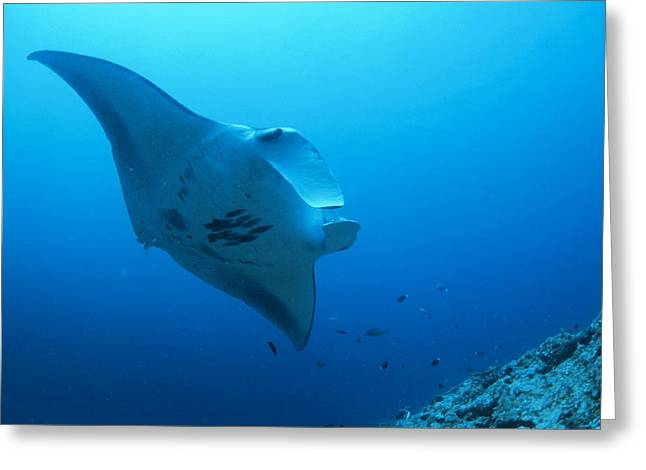 Manta Rays Greeting Cards - Giant Manta Greeting Card by Alexis Rosenfeld