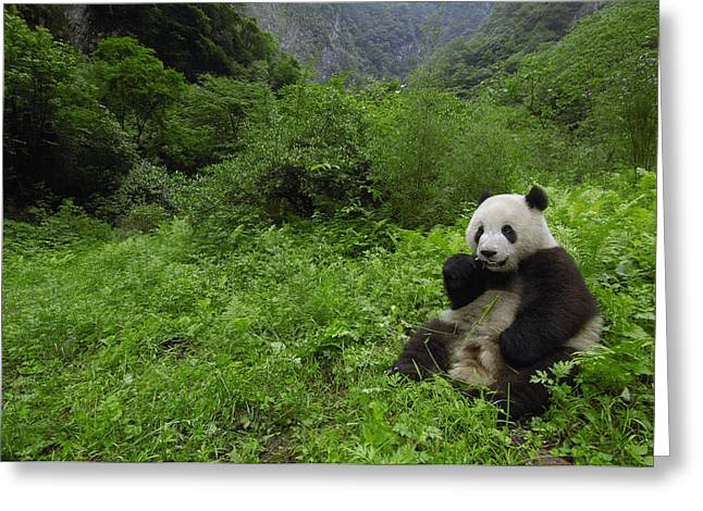 Wolong Nature Reserve Greeting Cards - Giant Panda Ailuropoda Melanoleuca Greeting Card by Pete Oxford