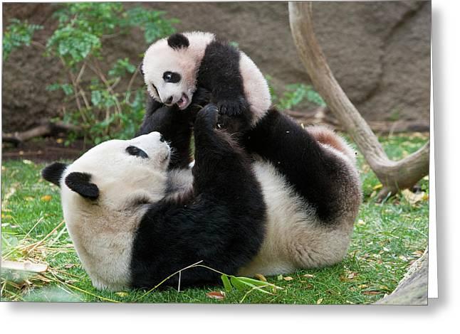 Ailuropoda Melanoleuca Greeting Cards - Giant Panda Ailuropoda Melanoleuca Greeting Card by San Diego Zoo