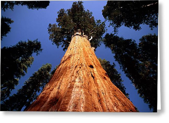 Giant Sequoia Greeting Cards - Giant Sequoia general Sherman Greeting Card by David Nunuk