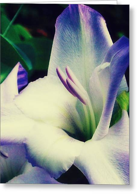 Purple Gladiolas Greeting Cards - Gladiola  Greeting Card by Cathie Tyler