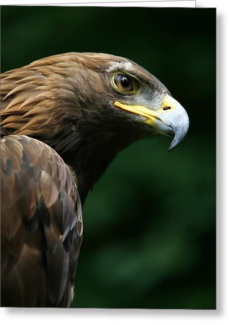 Animal Behaviour Greeting Cards - Golden Eagles Face Aquila Chrysaetos Greeting Card by Deddeda