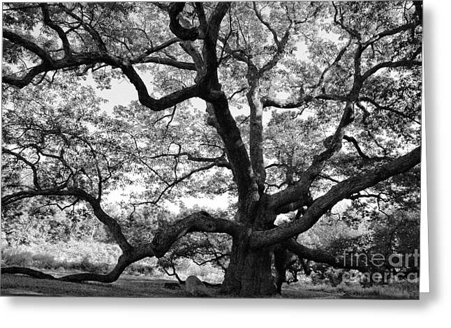 Giant Trees Greeting Cards - Granby Oak Greeting Card by HD Connelly