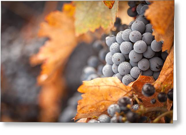 Pinot Noir Greeting Cards - Grapes with Mist Drops on the Vine Greeting Card by Andy Dean