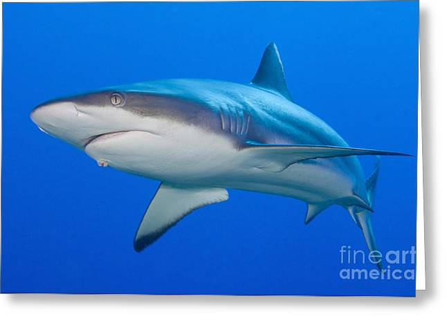 Elasmobranch Greeting Cards - Gray Reef Shark, Kimbe Bay, Papua New Greeting Card by Steve Jones