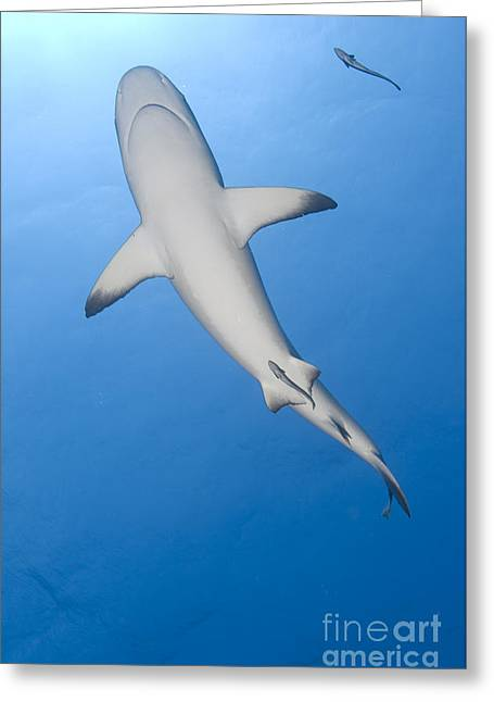 Elasmobranch Greeting Cards - Gray Reef Shark With Remora, Papua New Greeting Card by Steve Jones