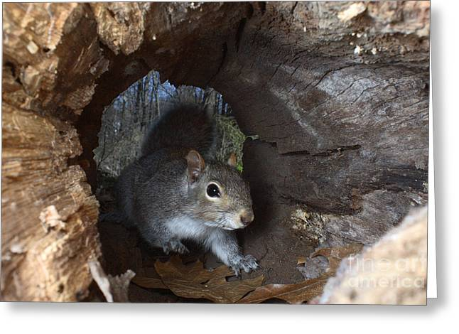 Sciurus Carolinensis Greeting Cards - Gray Squirrel Greeting Card by Ted Kinsman