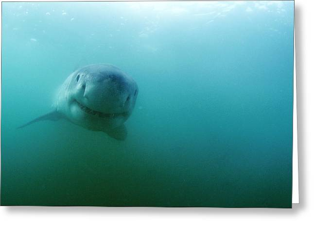 Great White Shark Greeting Card by Alexis Rosenfeld