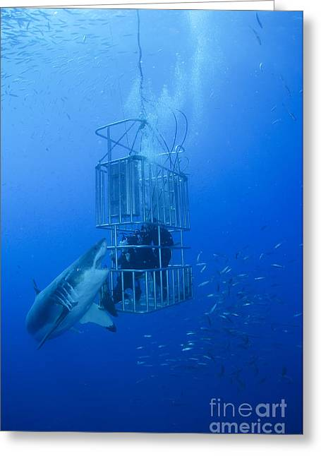 Guadalupe Island Greeting Cards - Great White Shark And Divers, Guadalupe Greeting Card by Todd Winner